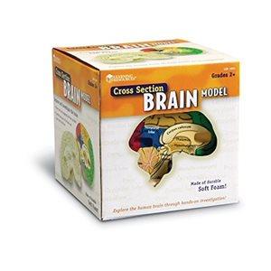 Cross-Section Human Brain Model